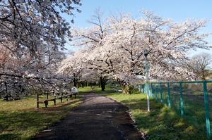 桜さく公園にさくらの歌がおしよせる